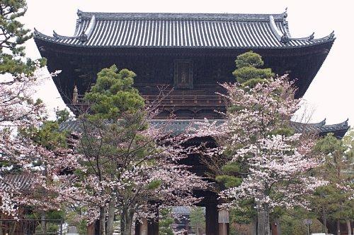 sakura-kurotani
