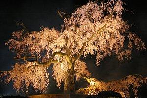 sakura-maruyama